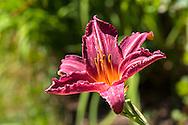 A Daylily (Hemerocallis species) blossom - variety Summer Wine
