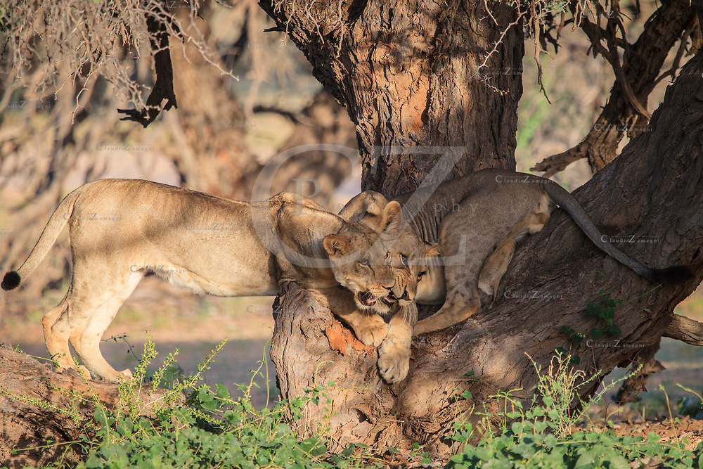 lion cubs playing at Nossob in Kgalagadi Transfrontier park South Africa<br />