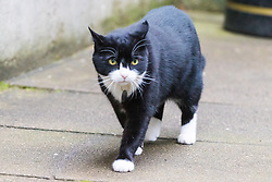 Downing Street, London, October 18th 2016. Palmerston the Foreign Office cat patrols as ministers arrive at the weekly cabinet meeting at 10 Downing Street in London.