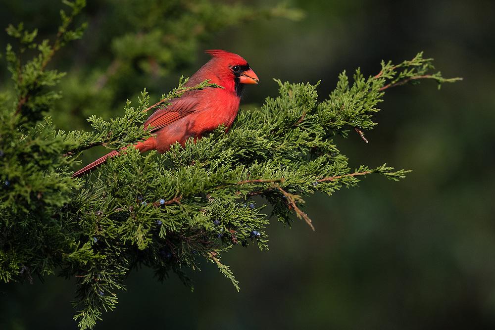 Northern Cardinal, Harwich, Massachusetts