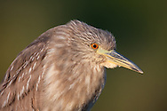 A juvenile black-crowned night heron poses for headshots in late evening light