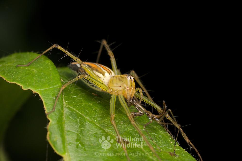 A lynx spider devouring a mantis nymph.