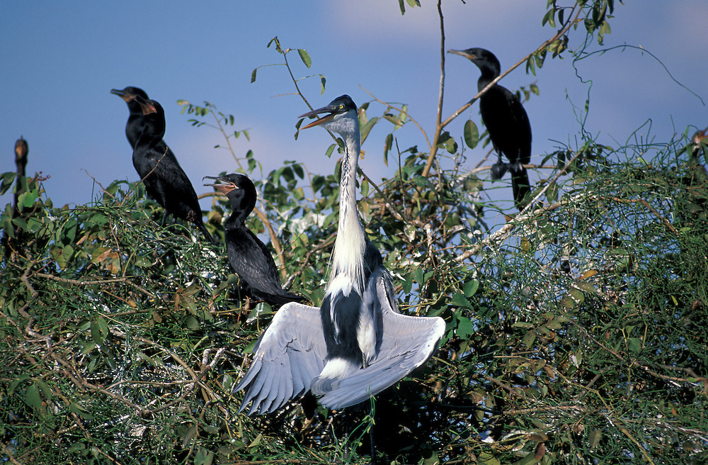 White necked Heron (Ardea cocoi), Pantanal, South of Cuiaba, Mato Grosso, Brazil