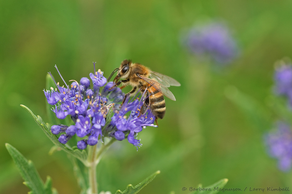 Honey Bee [Apis mellifera] visiting Spirea flowers; Fremont County, Colorado