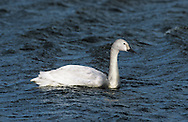 Bewick's Swan - Cygnus columbianus - juvenile. L 115-125cm. Our smallest swan. Usually seen in medium-sized flocks comprising family groups. Similar to larger Whooper but separated by noting relatively shorter neck and different bill pattern. Sexes are similar. Adult has mainly pure white plumage. Bill is wedge-shaped but proportionately shorter than Whooper; yellow colour typically does not extend beyond start of nostrils and yellow patch is usually rounded, not triangular. Juvenile has grubby buffish grey plumage and dark-tipped pink bill Voice Utters various honking and bugling calls. Status Winter visitor, 10,000+ birds found at traditional sites: flooded grassland, marshy meadows and occasionally arable farmland.
