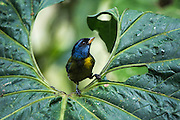 Moss-Backed Tanager (Bangsia edwardsi)<br /> Mashpi Rainforest Biodiversity Reserve<br /> Pichincha<br /> Ecuador<br /> South America