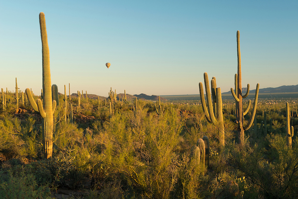 USA,Arizona,Tucson, Saguaro National Park, cactus on the western edge of the city of Tucson