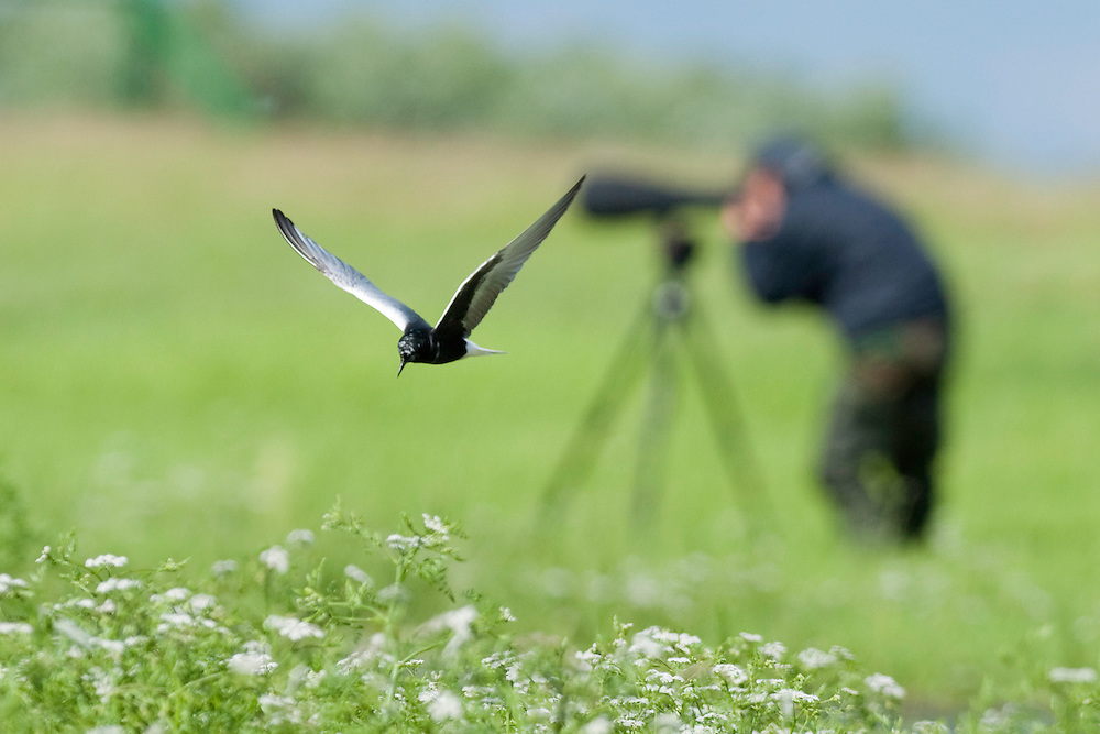 White-winged Black Tern (Chlidonias Leucopterus) with a photographer at Prypiat river, Belarus