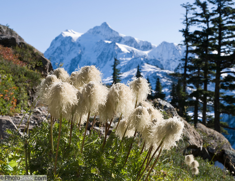 Anemone seed heads blow in the wind along the Chain Lakes Loop trail, in Mount Baker Wilderness. Western Pasqueflower (Anemone occidentalis, or Pasque Flower) is an herbaceous plant species in the genus Anemone (or Pulsatilla) and family Ranunculaceae. In the background rises the icy peak of Mount Shuksan (9127 feet elevation), located in North Cascades National Park. Anemone occidentalis is native to far western North America including British Columbia to California and Montana, found growing in gravelly soils on slopes and in moist meadows.