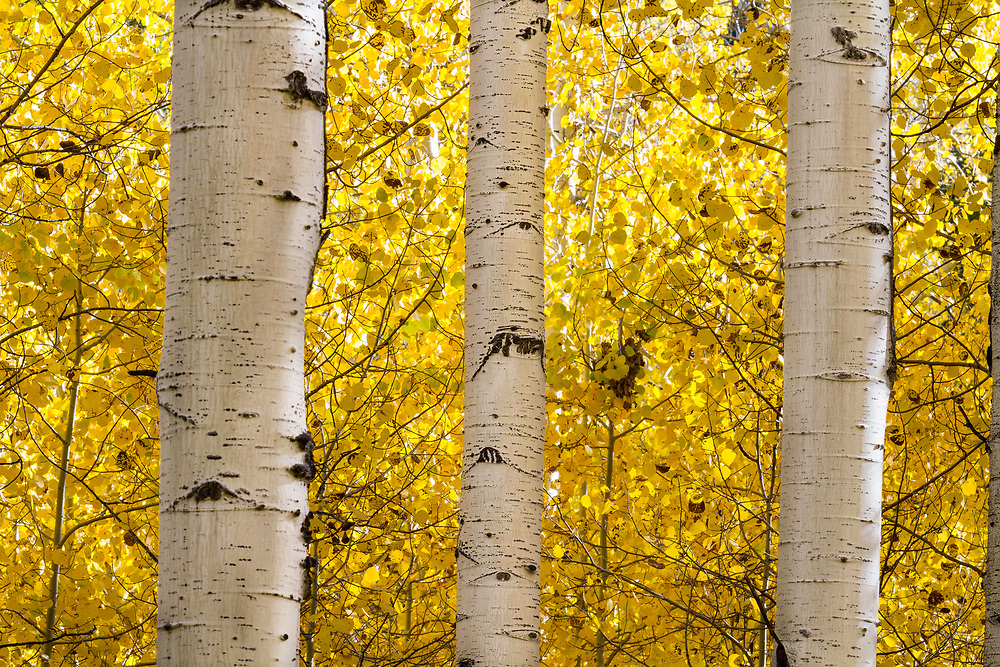 Three aspen trunks against a golden wall of yellow aspen leaves during Fall in Utah's Alpine Loop.