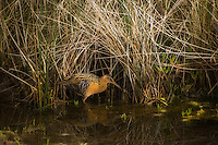 The incredibly difficult to photograph and super-shy clapper rail hiding among the grasses on Merritt Island, near Cape Canaveral.