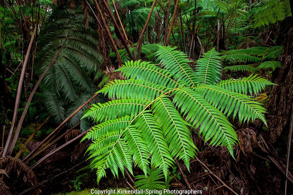 HI00304-00...HAWAI'I - Hapu'u fern in Hawai'i Volcanoes National Park on the island of Hawai'i.