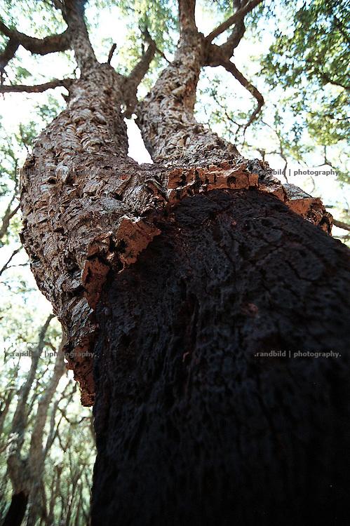 Ein abgeernteter schwarzer Stamm einer Korkeiche im suedfranzösischen Draguignan. A cork oak in southern france.