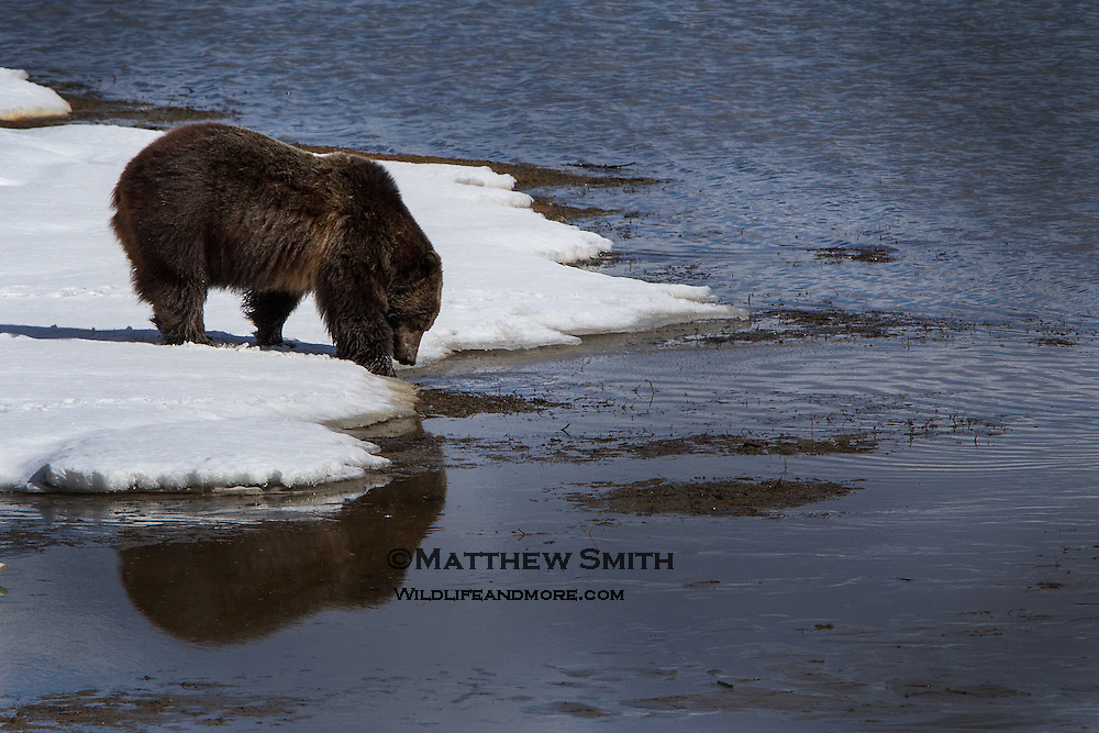 Wild Grizzly Bear in Grand Teton National Park drinking from the Snake River