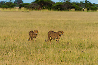 Cheetahs, Nxai Pan National Park, Botswana.