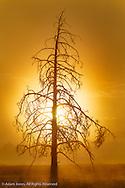 Tree silhouetted at sunrise, Upper Geyser Basin, Yellowstone National Park, Wyoming/Montana.