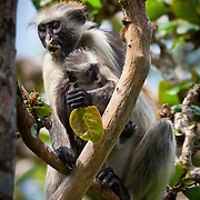 Jozani Forest- this is a Zanzibar Red Colobus monkey with baby. They only exist on Zanzibar and are one of the rarest monkeys in Africa.