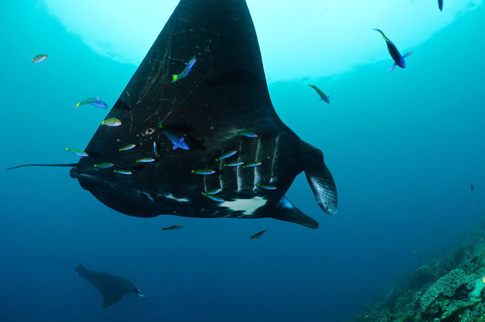 Manta rays gathered above a cleaning station, Raja Ampat Islands, West Papua, Indonesia.  The mantas are being cleaned by small wrasse. The Raja Ampat Islands in West Papua are famous for their extraordinary marine biodiversity. The reefs around these islands are thought to be some of the most biodiverse on the planet.