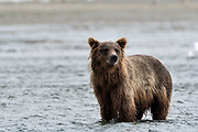 A grizzly bear sub-adult look for chum salmon in the lower lagoon at the McNeil River State Game Sanctuary on the Kenai Peninsula, Alaska. The remote site is accessed only with a special permit and is the world's largest seasonal population of brown bears.