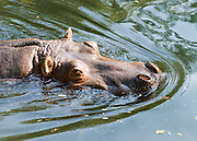 A hippopotamus or hippo (Hippopotamus amphibius scientific name; from the Greek hippopotamos, hippos meaning horse and potamus meaning river), is a large, mostly plant-eating African mammal, one of only two extant species in the family Hippopotamidae (the other being the Pygmy Hippopotamus). The hippo is semi-aquatic, inhabiting rivers and lakes in sub-Saharan Africa in groups of 5-30 hippos. During the day they remain cool by staying in the water or mud; reproduction and childbirth both occur in water, where territorial bulls preside over a stretch of river. They emerge at dusk to graze on grass. While hippos rest near each other in territories in the water, grazing is a solitary activity and hippos are not territorial on land. Despite their physical resemblance to pigs and other terrestrial even-toed ungulates, their closest living relatives are cetaceans (whales, porpoise, etc.). The common ancestor of whales and hippos split from other even-toed ungulates around 60 million years ago. The earliest known hippopotamus fossils, belonging to the genus Kenyapotamus in Africa, date to around 16 million years ago. The hippopotamus is recognizable for its barrel-shaped torso, enormous mouth and teeth, hairless body, stubby legs and tremendous size. Hippos have been clocked at 30 mph (48 km/h) while running short distances, faster than an Olympic sprinter. The hippopotamus is one of the most aggressive animals in the world, and are often regarded as the most dangerous animal in Africa. There are an estimated 125,000 to 150,000 hippos remaining throughout Sub-Saharan Africa, of which Zambia (40,000) and Tanzania (20,000-30,000) have the largest populations. They are still threatened by poaching for their meat and ivory canine teeth, and by habitat loss. Photographed in the Woodland Park Zoo, Seattle, Washington.