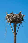 Pair of adult Osprey, Pandion haliaetus, guarding birds nest on Captiva Island in Florida, USA