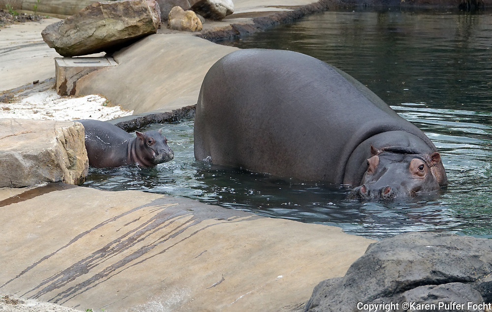 """""""Binti,"""" a Nile hippopotamus, gave birth to a healthy, 76-pound baby girl on March 23, 2017 at the Memphis Zoo.""""This is one of our most significant births in a long, long time,"""" said Matt Thompson, Director of Animal Programs. """"It's also incredibly special – as Binti and her baby are carrying on our legacy of hippos in their brand-new home, Zambezi River Hippo Camp."""" Memphis, was once called the """"Hippo Capital of the World."""" Another hippo on exhibit, """"Splish"""" was born on Christmas Day 1988, along with her twin, """"Splash."""" The zoo would like help naming their new baby."""
