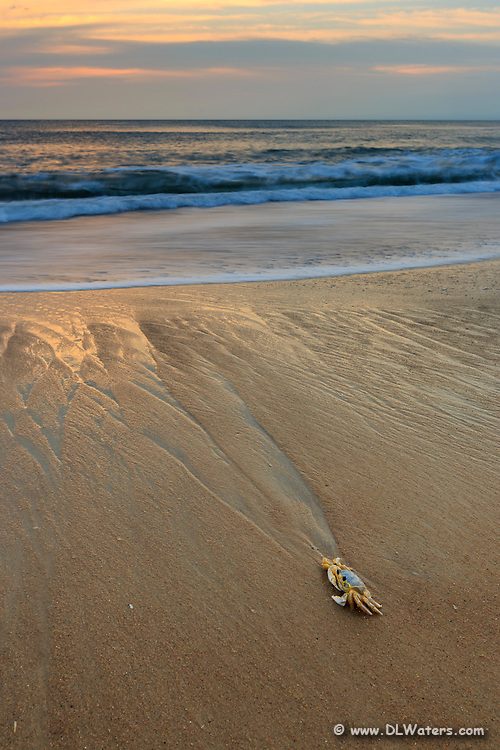 Ghost crab taking it's morning dip. Photographed with a wide angle lens on the Outer Banks of NC.