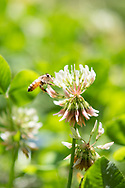 Photo clover flower and a bee in flight matted print, wall art, close up, macro. California nature, garden, photography. Santa Monica, Westside, Venice, Los Angeles, Fine art photography limited edition.