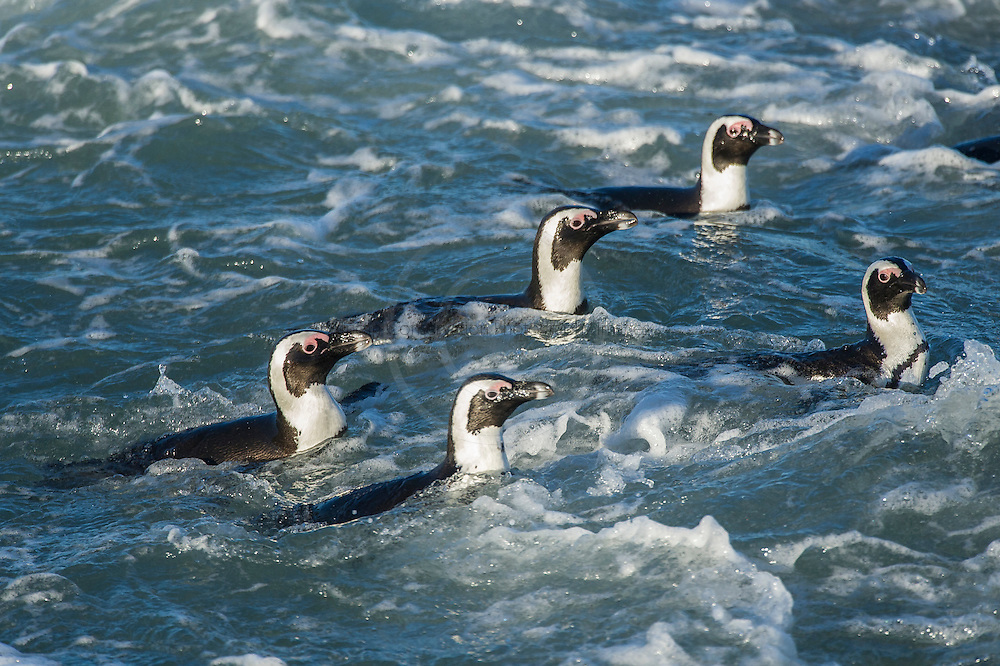 African penguin swimming in shallow waters, Bettys Bay, Western Cape, South Africa