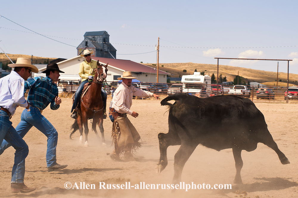 Wilsall Ranch Rodeo, Montana, Wild Cow Milking, Knockem Flat Cattle Co Team..