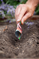 Sowing beetroot - Beta vulgaris - in a drill in the vegetable garden