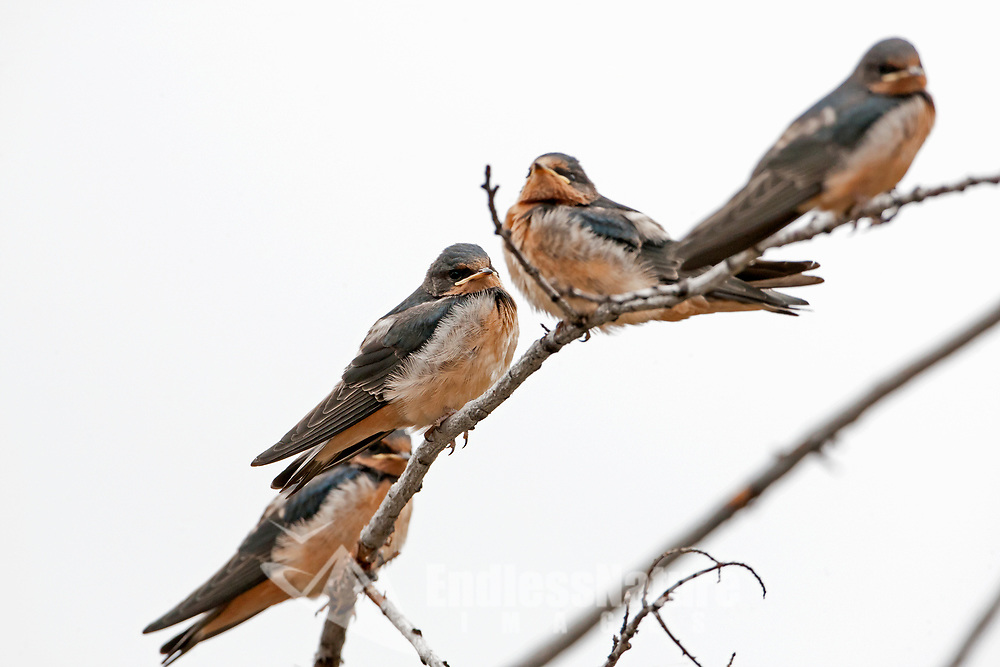 A small group of Barn Swallows rests on a branch just after a rainstorm in a mountain valley in northern Utah.