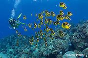 scuba diver observes school of racoon or raccoon butterflyfish, Chaetodon lunula, Honokohau, Kona, Big Island, Hawaii ( Central Pacific Ocean ), dive site called Eel Cove, near Kaiwi Point, MR 356