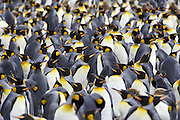 King Penguin<br /> Aptenodytes patagonicus<br /> Saint Andrew's Bay, South Georgia