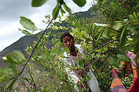 A woman picks coca leaves in El Rosario, Nariño, in southwestern Colombia, on July 15, 2008. Nariño is a one of Colombia's most troubled departments; with wide spread coca cultivation and the presence of illegal armed groups vying for control of the coca business. (Photo/Scott Dalton)