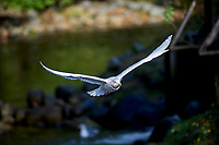 Glaucous-winged Gull (Larus glaucescens) in flight, Thronton Fish Hatchery, Ucluelet , British Columbia, Canada