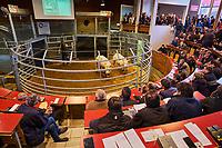 France, Saône-et-Loire (71), Saint-Christophe-en-Brionnais, marché aux bestiaux, vente aux enchères de boeufs charolais // France, Saône-et-Loire (71), Saint-Christophe-en-Brionnais, sale of cattle