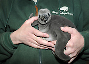 Chicago Zoological Society Helps Increase Humboldt Penguin Numbers in Zoos<br /> <br /> Brookfield, IL—The Humboldt penguin population in North American zoos accredited by the Association of Zoos and Aquariums is increasing thanks to efforts by animal care staff at the Chicago Zoological Society's Brookfield Zoo, Columbus Zoo, and Milwaukee County Zoo and, more importantly, by some foster penguin parents. Brookfield Zoo agreed to take two Humboldt penguin eggs—one that has hatched and one that has yet to hatch—from Columbus Zoo and Milwaukee County Zoo, respectively.<br /> <br /> In early January, a penguin at Columbus Zoo laid an egg. However, during the Arctic blast that swept through Ohio, the penguin and her mate had difficulties incubating it. The coordinator of the Association of Zoos and Aquariums' Humboldt Penguin Species Survival Plan recommended that it was in the best interest of the overall zoo population to transfer the egg to Brookfield Zoo so that a foster pair could continue the incubation process and rear the chick. (The pair at Columbus Zoo subsequently bred again and was successful in incubating a second clutch.)<br /> <br /> At Brookfield Zoo, Salsa and Ceviche, 10-year-old Humboldt penguins who have successfully raised chicks in the past, were in the process of incubating an egg, but it was infertile. To alleviate unnecessary stress on Salsa, staff allowed her to complete the natural incubation cycle but pulled the infertile egg from the nestbox and replaced it with a fake egg. When the egg from Columbus Zoo arrived, the fake egg was removed and replaced with the new fertile egg. Ceviche and Salsa successfully incubated the egg. <br /> <br /> On February 20, a male chick hatched, and he is progressing very well due to attentive care from his foster parents.<br /> <br /> Guests visiting Brookfield Zoo's Living Coast exhibit may be able to see the Columbus Zoo chick as he is beginning to peek out from the nestbox. He is distinguishable from the ad