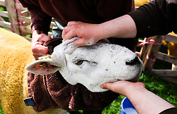 © Licensed to London News Pictures.26/08/15<br /> Egton, UK. <br /> <br /> A Texel sheep has her face washed ahead of competing at the 126th Egton Show in North Yorkshire. <br /> <br /> Egton is one of the largest village shows in the country and is run by a band of voluntary helpers. <br /> <br /> This year the event featured wrought iron and farrier displays, a farmers market, plus horse, cattle, sheep, goat, ferret, fur and feather classes. There was also bee keeping, produce and handicrafts on display.<br /> <br /> Photo credit : Ian Forsyth/LNP