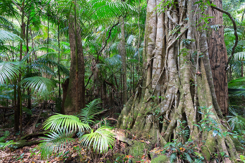 Strangler Fig in subtropical rainforest, Yarriabinni National Park, NSW, Australia