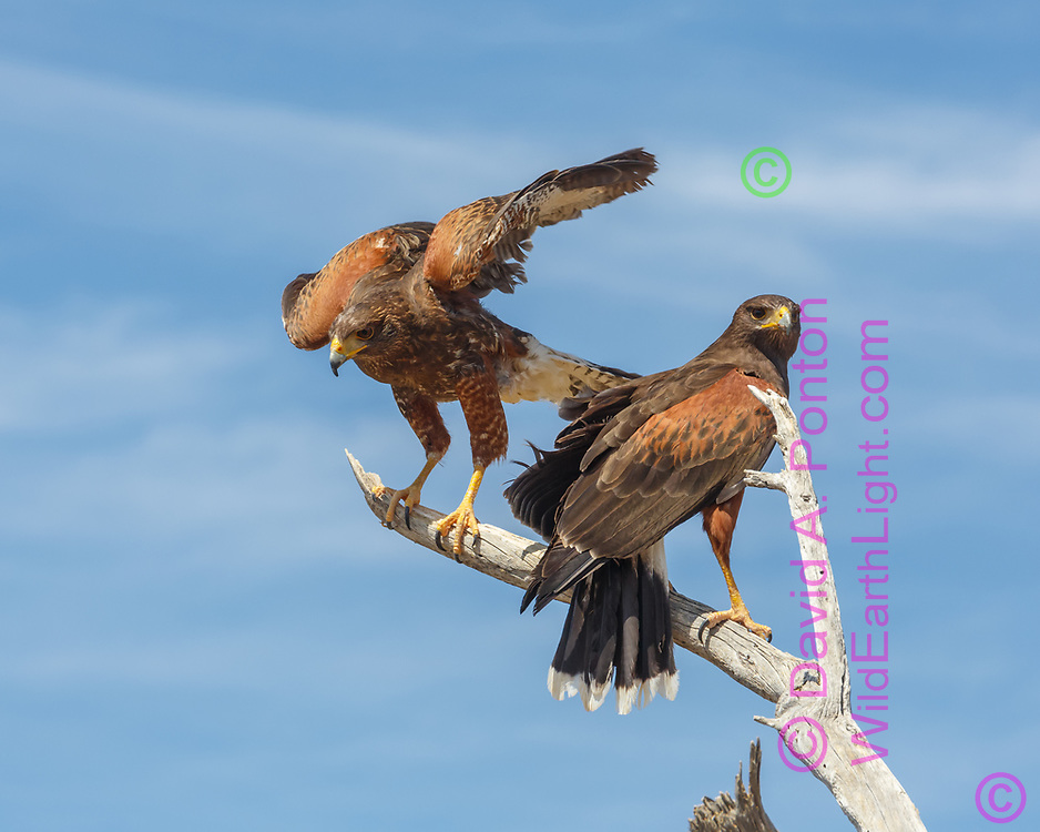 Juvenile Harris's hawk lands next to adult, © 2012 David A. Ponton