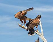 Juvenile Harris's hawk lands next to adult, © 2012 David A. Ponton