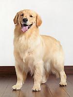 Golden Retriever indoor portrait. Fifteen month old dog.