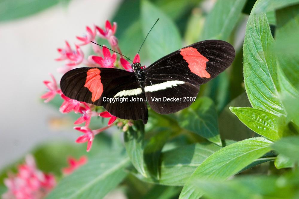 Postman Butterfly feeding with wings spread