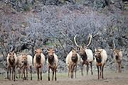 A bull elk watches his harem at Oak Creek, Cascade Range, Washington, USA