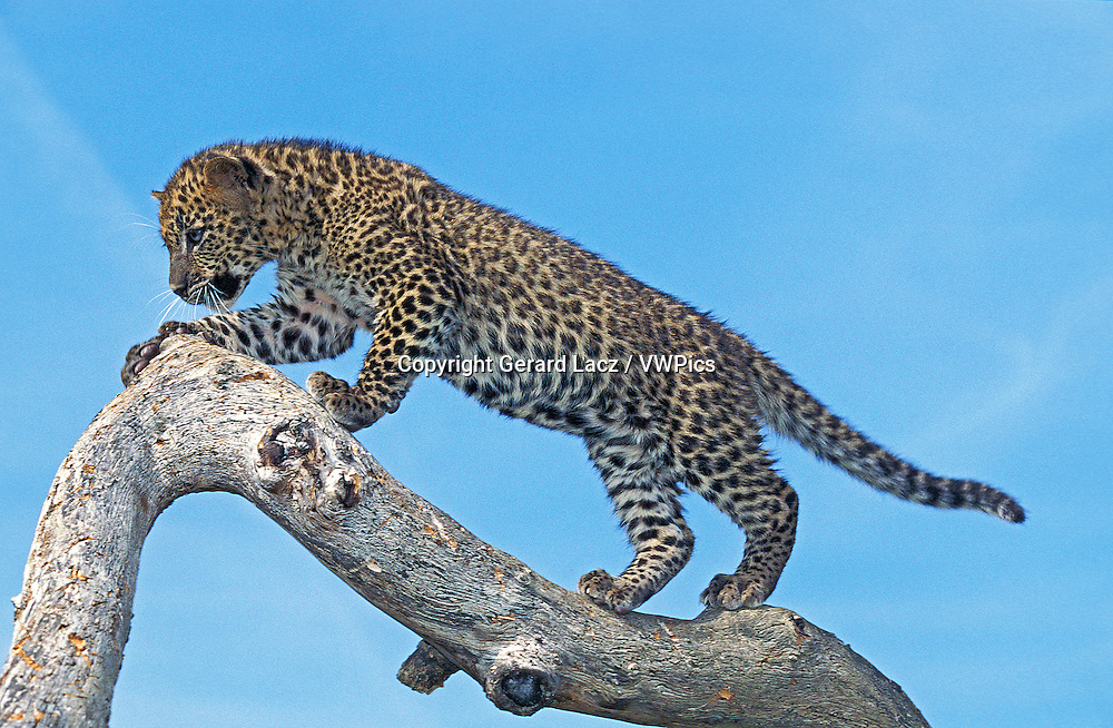 Leopard, panthera pardus, Cub standing on Branch against Blue Sky