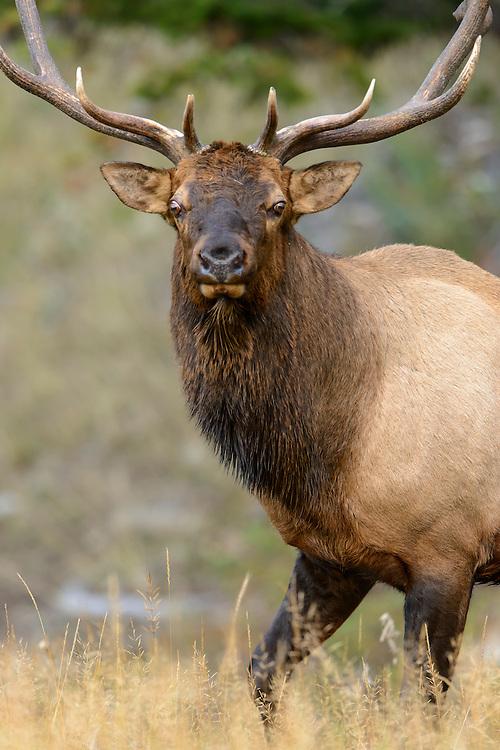 Bull Elk Walking - Cervus elaphus - Northern Rockies