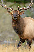 Bull Elk Walking - Cervus elaphus - Northern Rockies