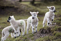 July 21, 2019 - Baby Lambs (Credit Image: © John Short/Design Pics via ZUMA Wire)