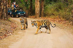 Tourists in national park photographing a pair of tigers (Panthera tigris tigris) walking down a road, Bandhavgarh National Park,Madhya Pradesh,India